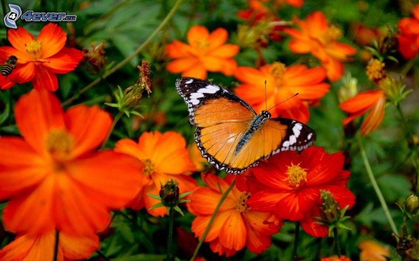papillon sur fleur, fleurs oranges