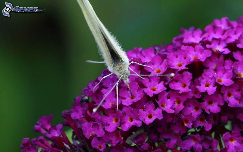 papillon sur fleur, fleurs violettes, macro