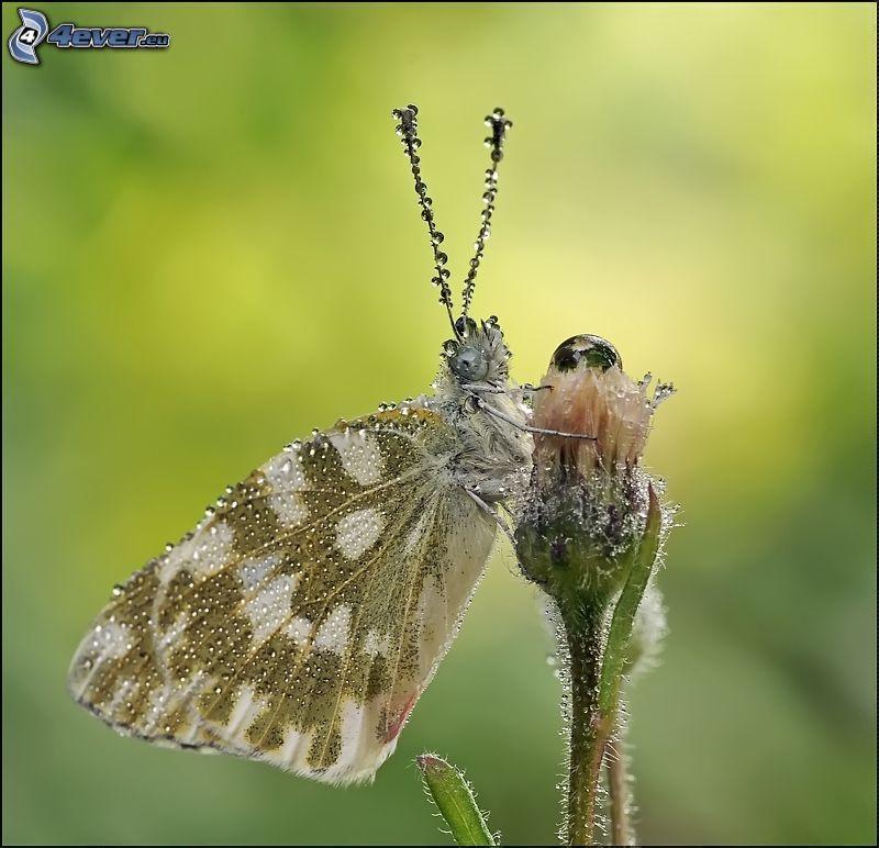 papillon sur fleur, gouttes d'eau
