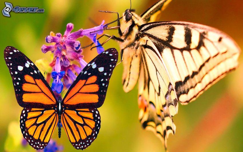 papillon sur fleur, Machaon, macro