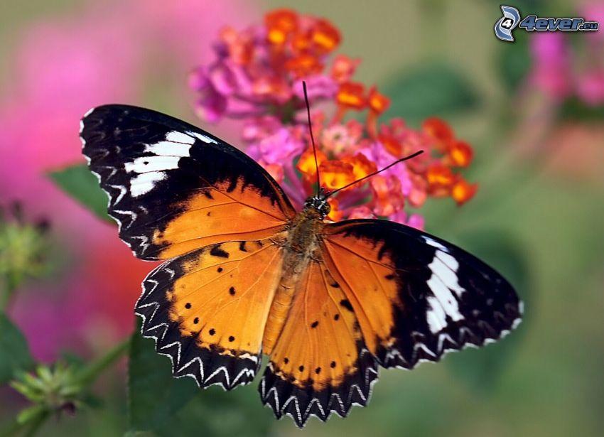 papillon sur fleur, macro