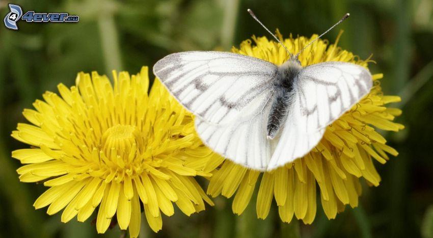 papillon sur fleur, pissenlits, macro