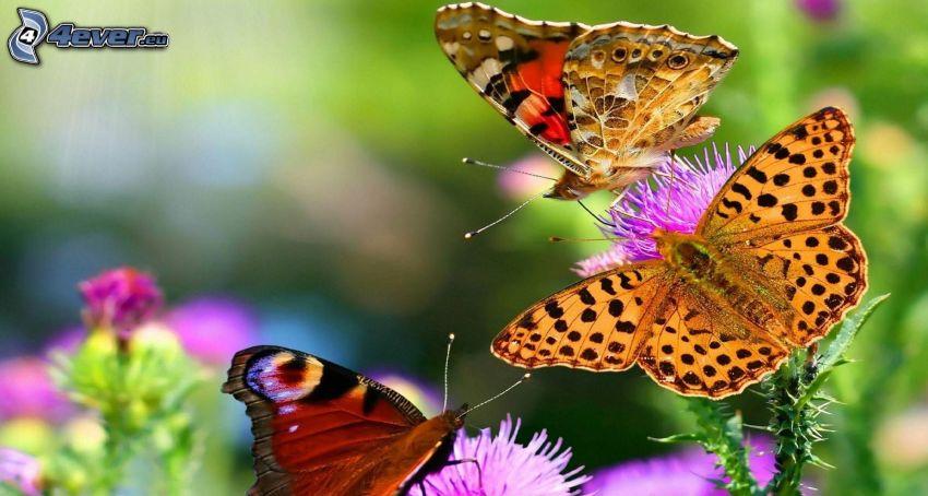 papillons, chardon