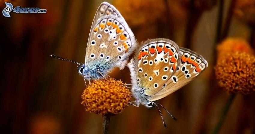 papillons, copulation, fleur