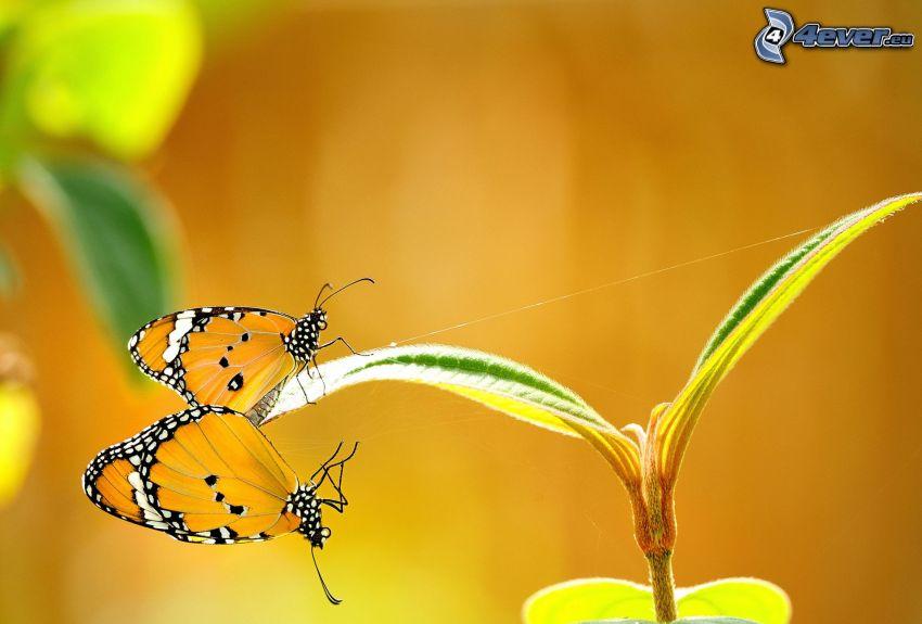 papillons, copulation, plante