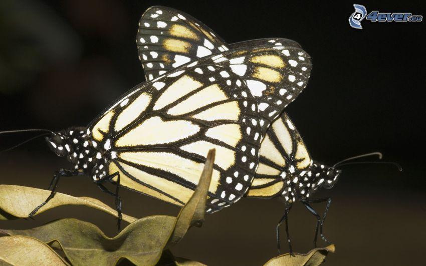 papillons, copulation