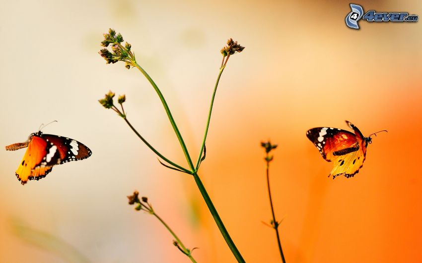 papillons, plante