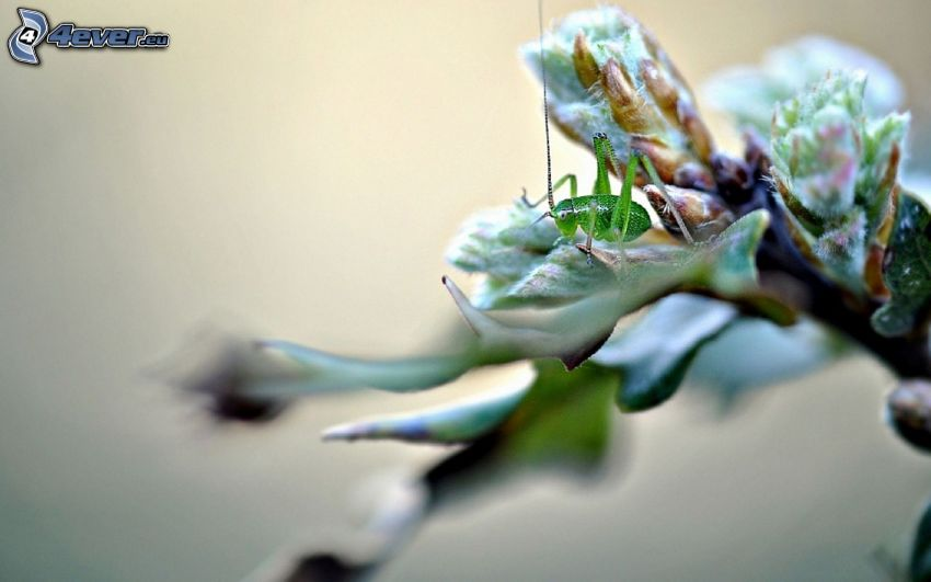 sauterelle, fleur