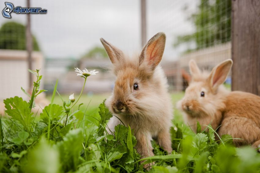 lapins, l'herbe