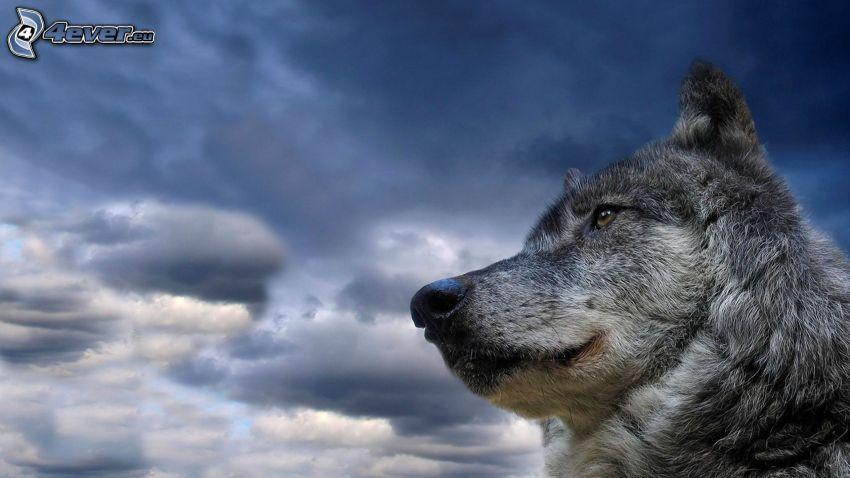 loup, ciel