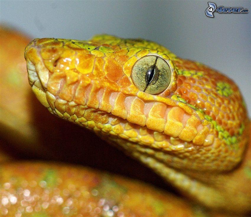 œil de serpent, serpent