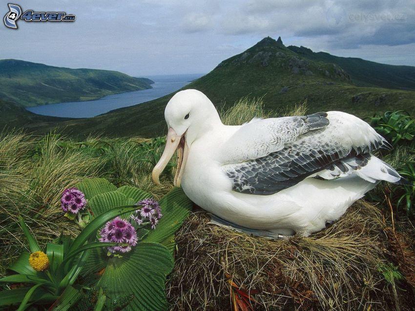 albatros, nid, fleurs, colline, baie