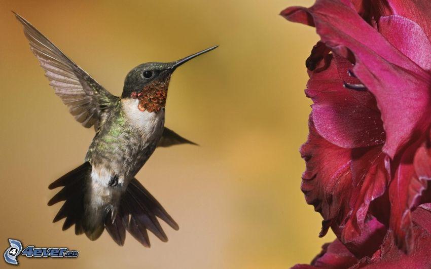 colibri, fleur