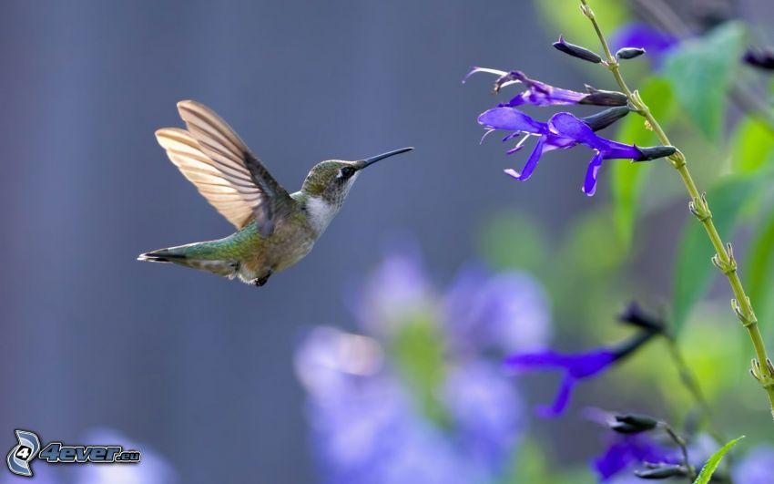colibri, fleurs bleues
