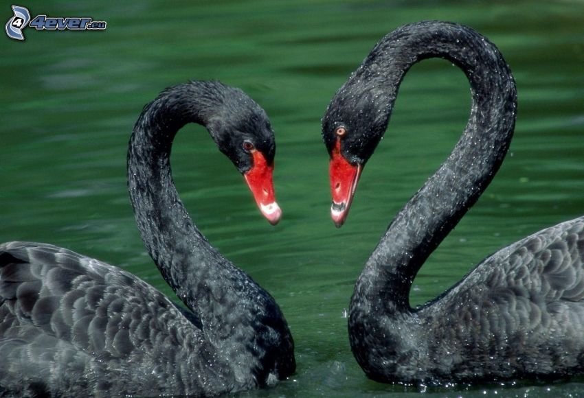 cygnes, cygne noir, amour