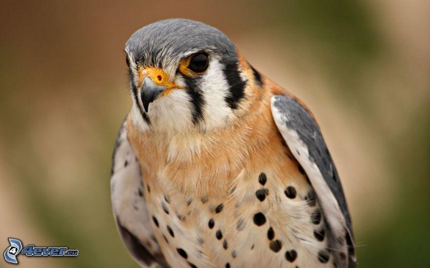 faucon, oiseau de proie