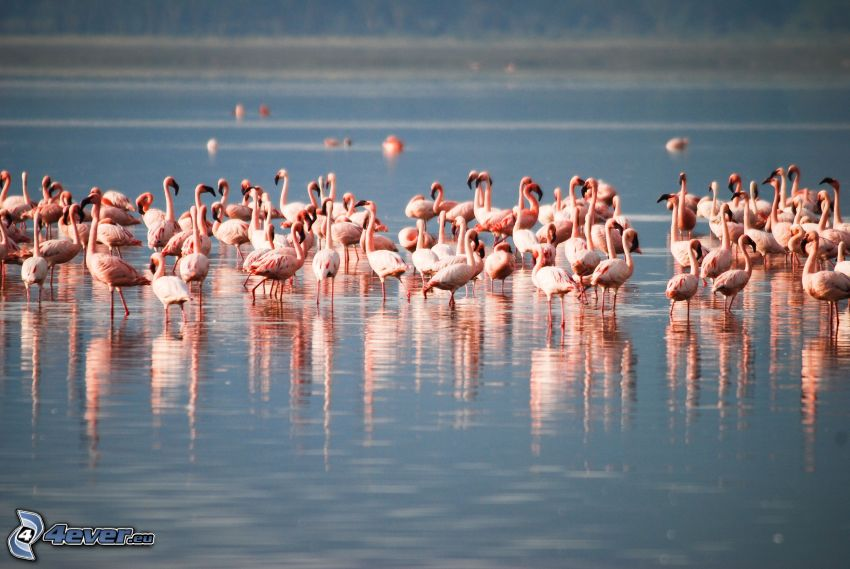 flamants, Nakuru, lac