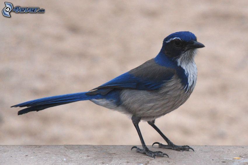 Geai, oiseau bleu