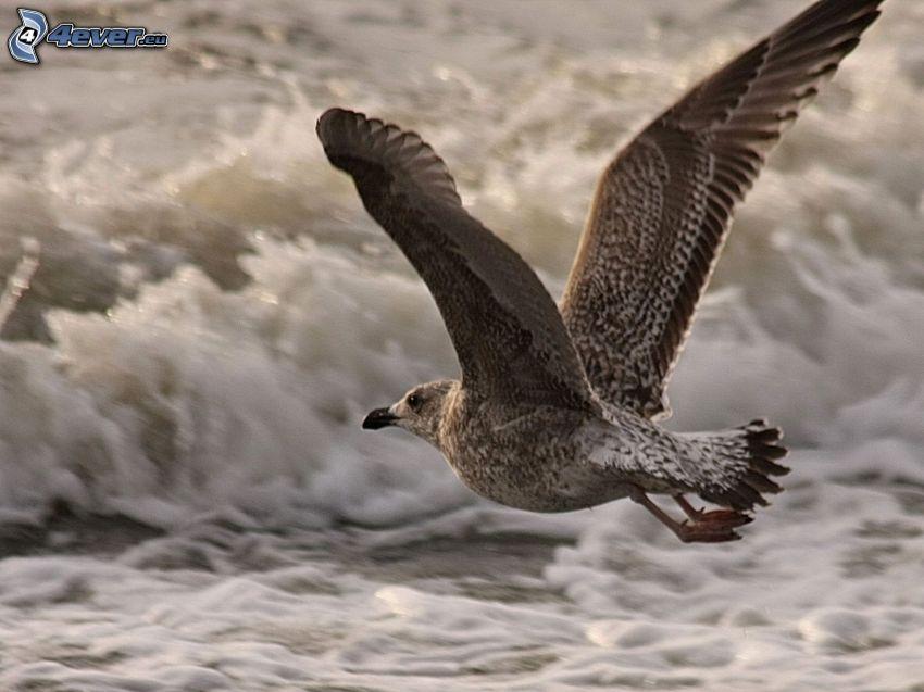 goéland, ailes, vague