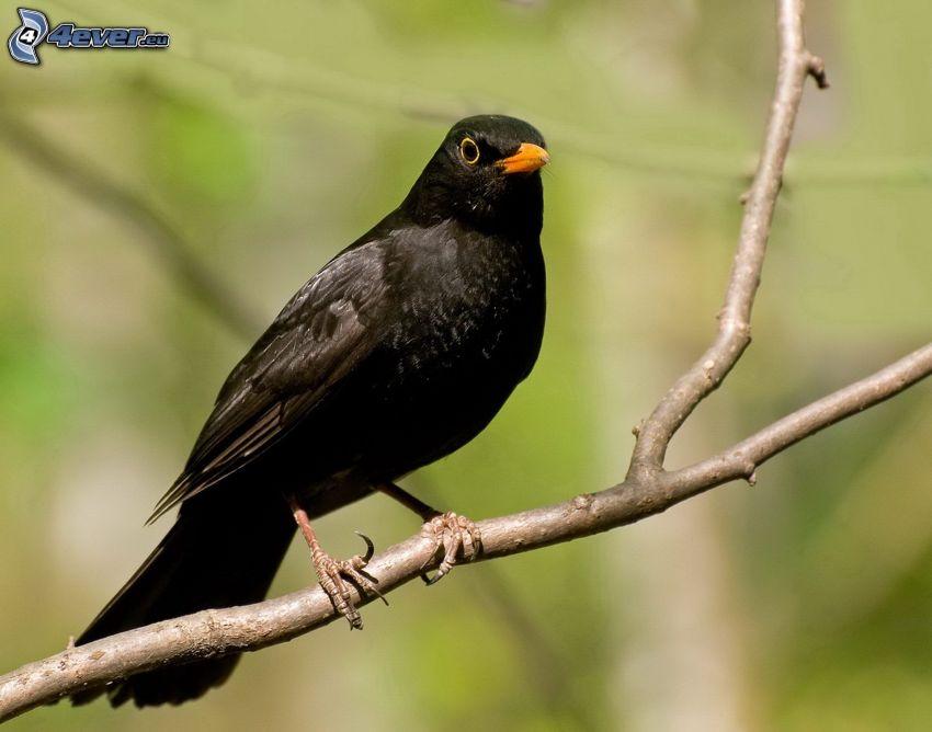 grive, oiseau sur une branche