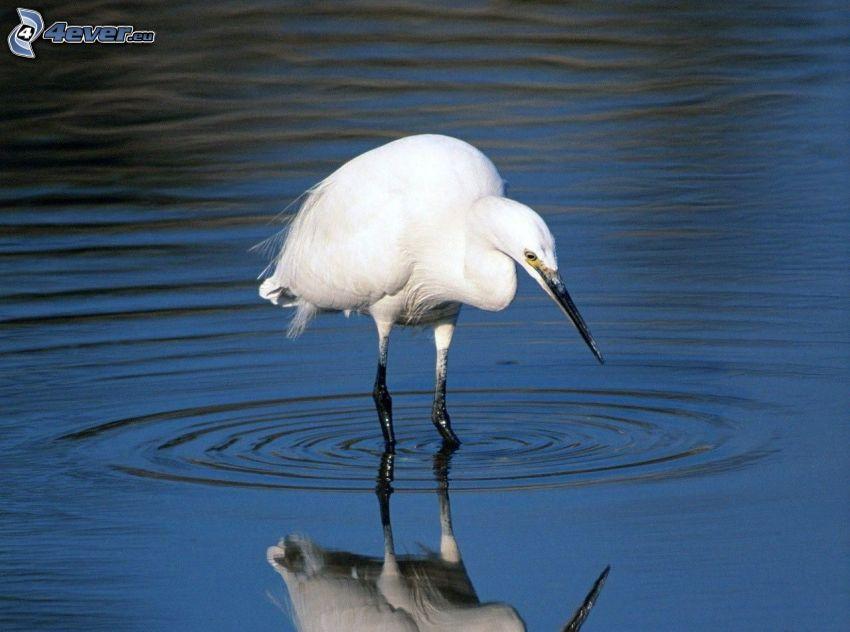 Gruidae, eau, des ronds dans l´eau, reflexion