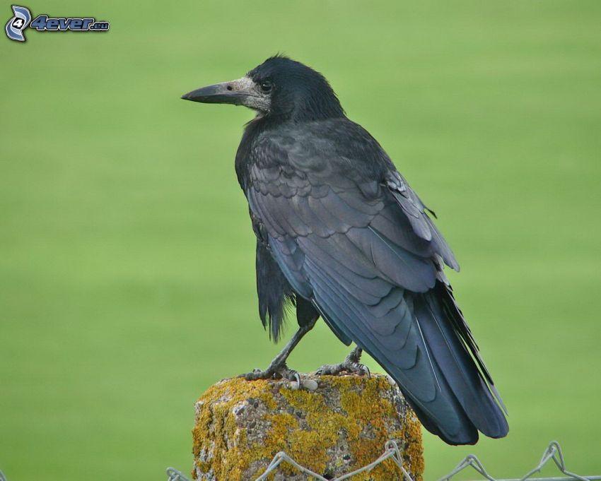 le corbeau, clôture