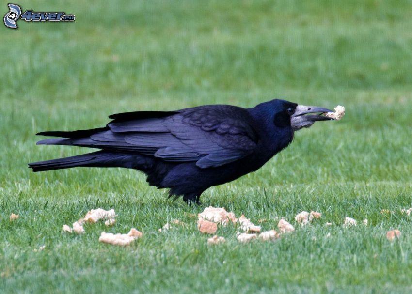le corbeau, le pain