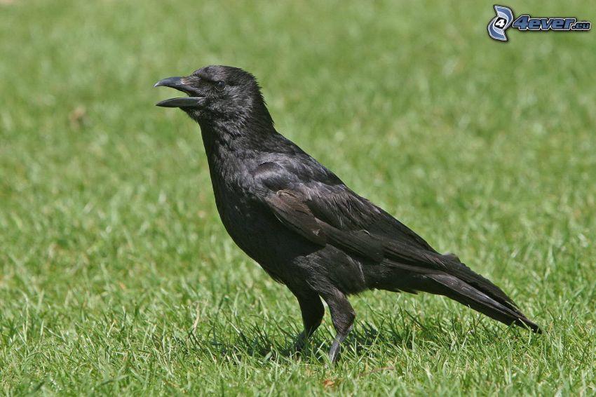 le corbeau, l'herbe
