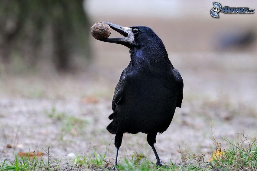 le corbeau, noix