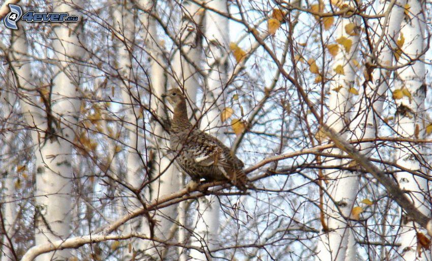 moorcock, arbre