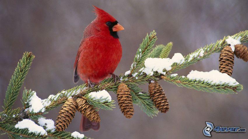 oiseau, branche, cônes de conifères