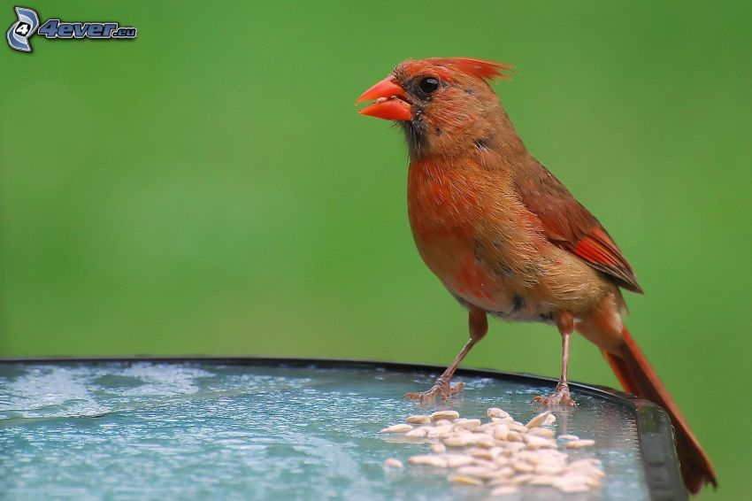 oiseau, graines