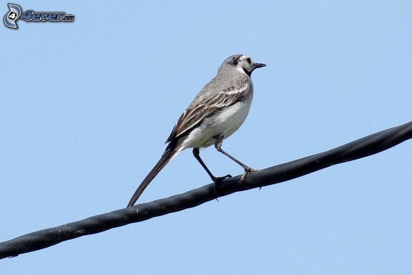 oiseau, le câble