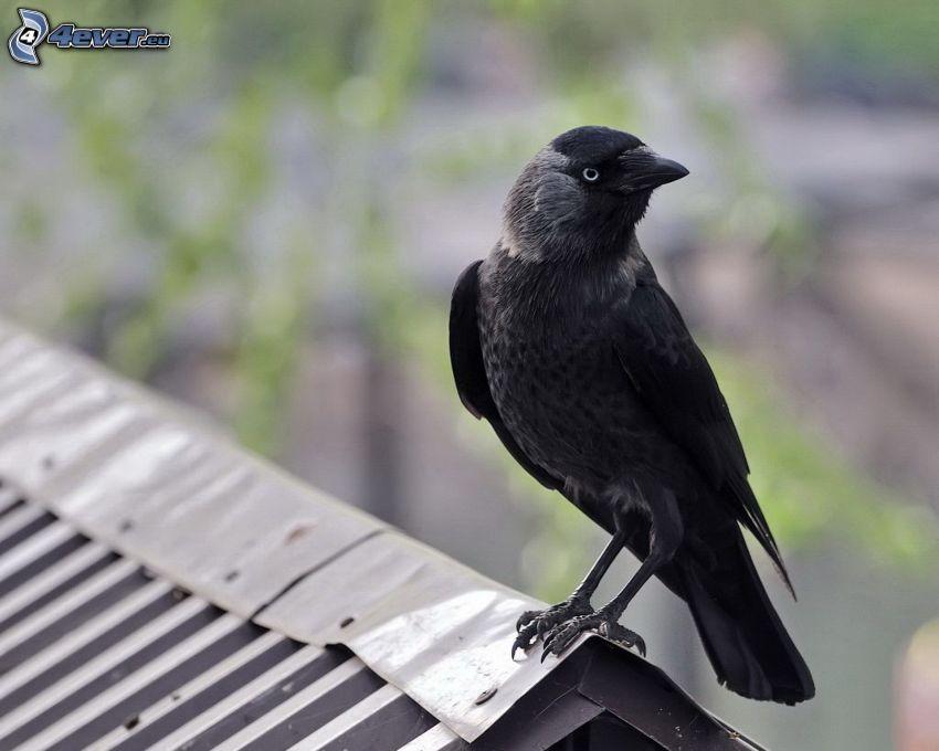 oiseau, toit