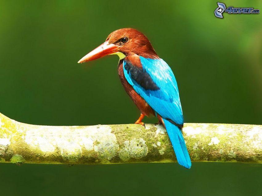 oiseau de couleur, branche