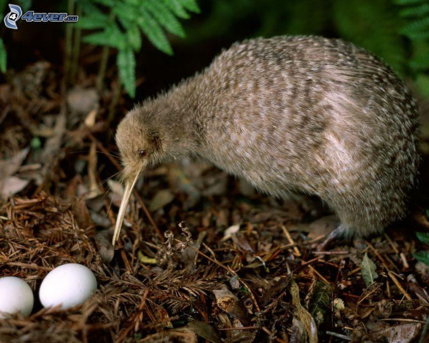 oiseau de kiwi, œufs