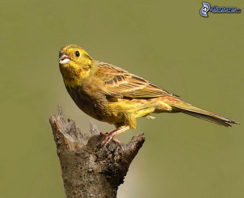 oiseau jaune, bois