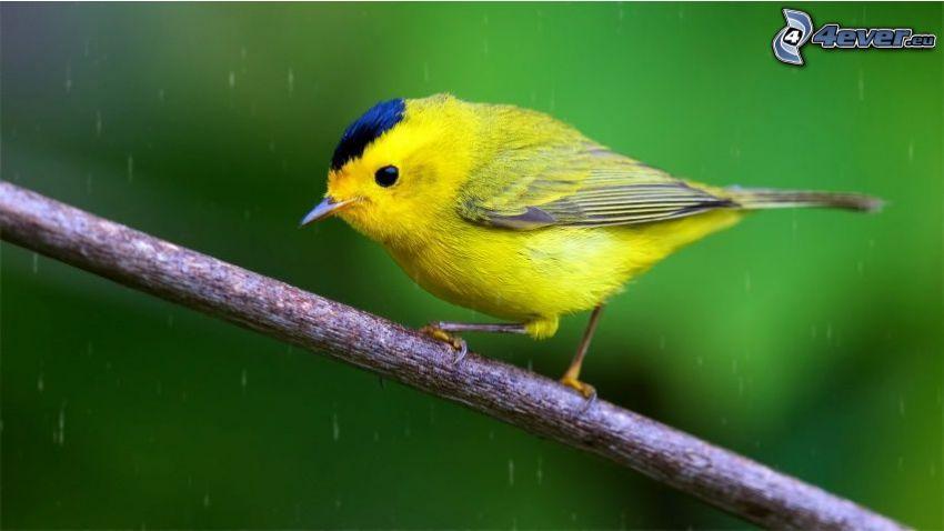oiseau jaune, brindille