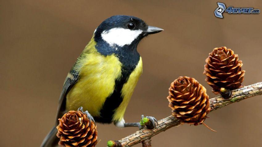 oiseau sur une branche, cônes de conifères