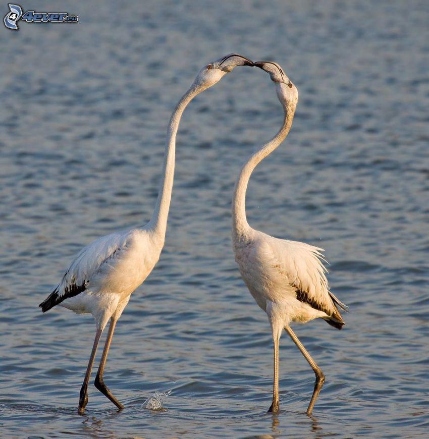 oiseaux blancs, baiser, eau