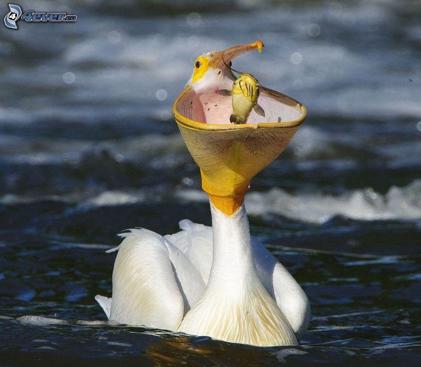 Pélican, poisson, bec, eau