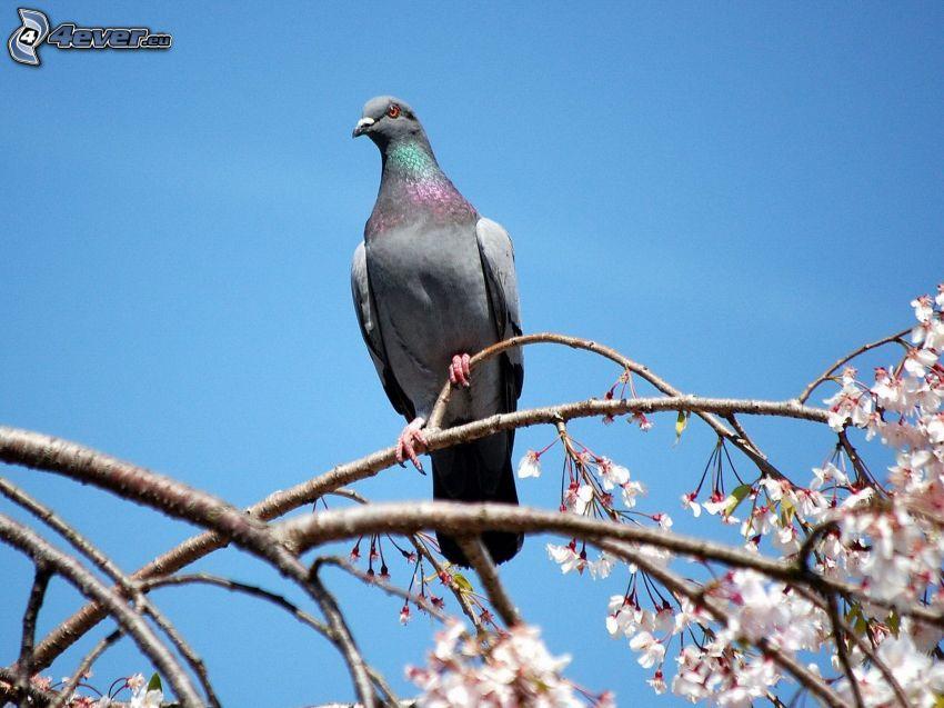 pigeon, arbre à floraison