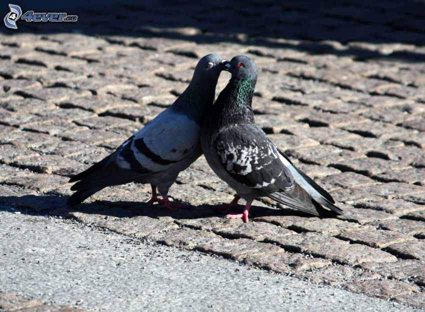 pigeons, baiser, amour, pavage
