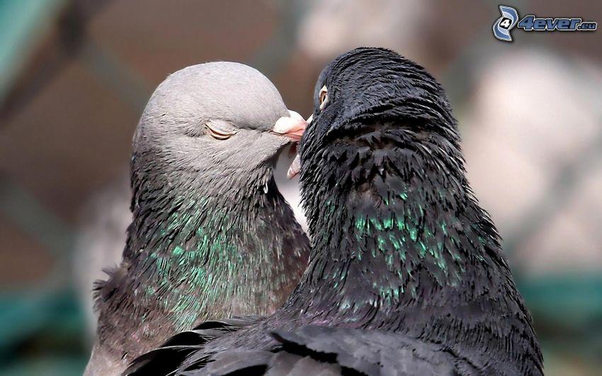 pigeons, baiser