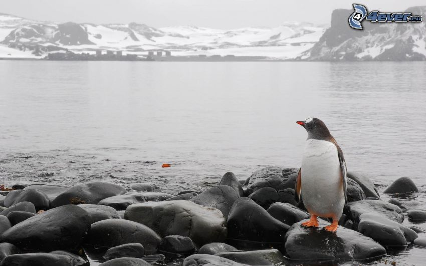 pingouin, pierres, collines rocheuses, neige
