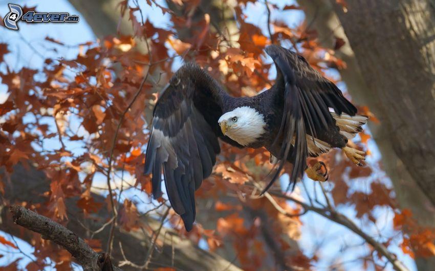 Pygargue à tête blanche, vol, arbre en automne