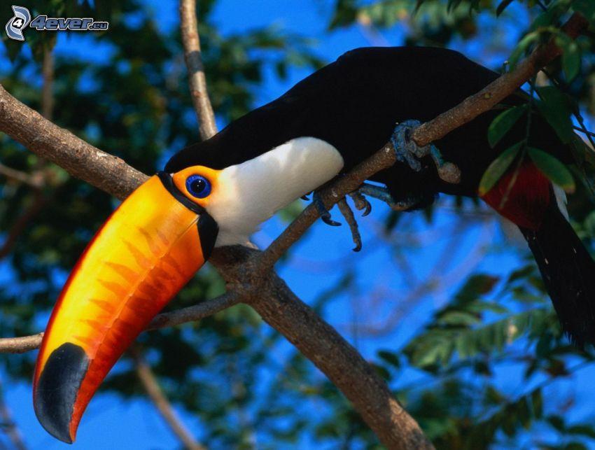 toucan, arbre