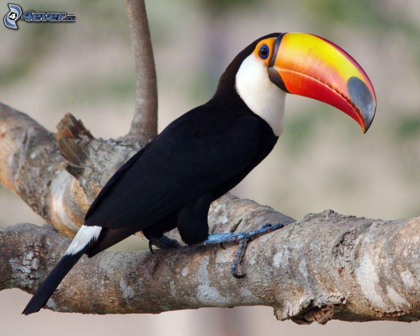 toucan, branche