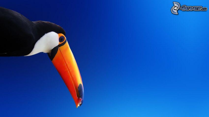 toucan, ciel bleu