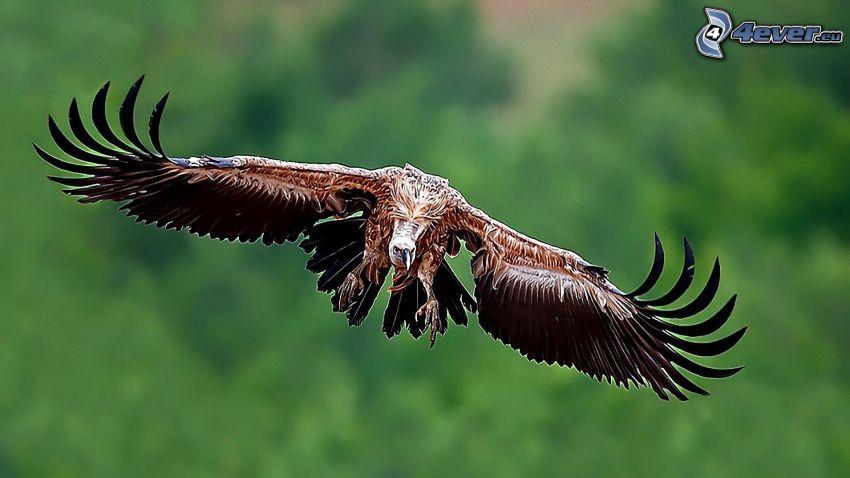 vautour, vol